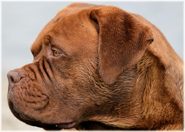 alimentation dogue de bordeaux