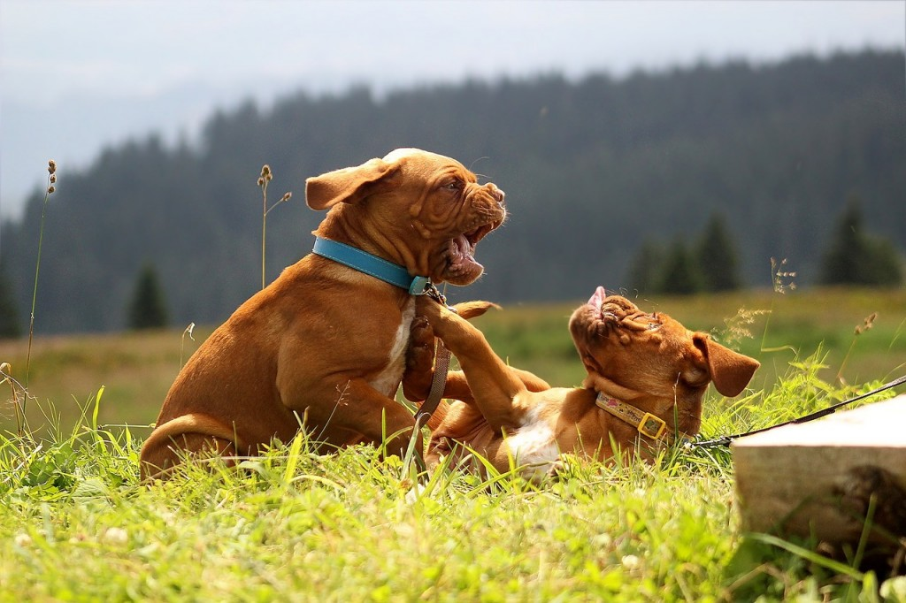 dogue de bordeaux comportement