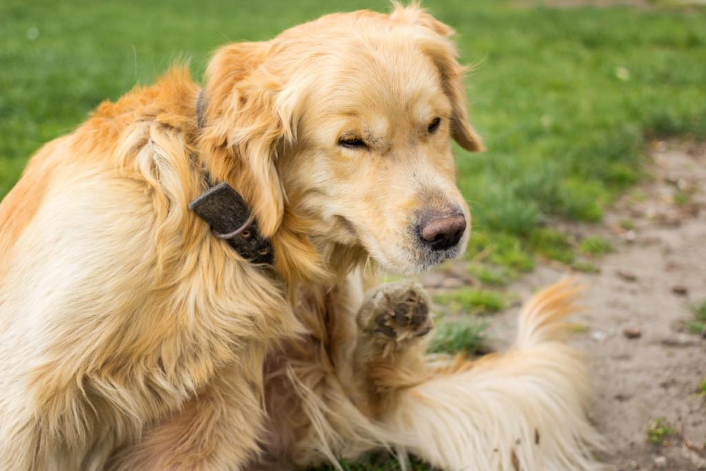 Débarrasser votre chien des puces
