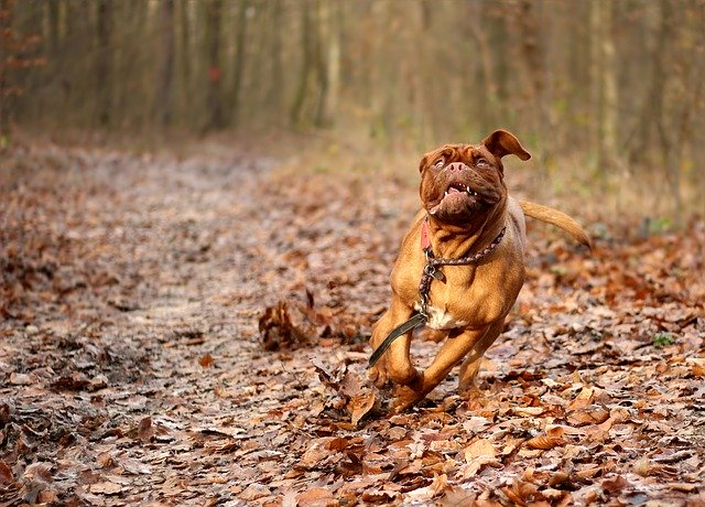 comment faire maigrir un dogue de bordeaux
